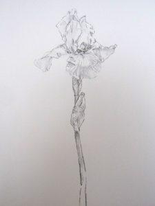 鉛筆で描いた菖蒲のスケッチです。